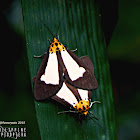 Snouted Tiger Moths (Mating)