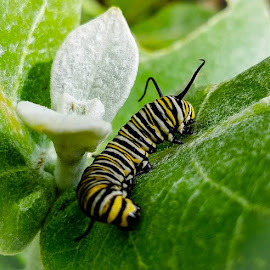 Monarch Butterfly Caterpillar by Anne LiConti - Instagram & Mobile Android ( #mobilephotography, #mobilephoto, #animals, #instagram, #milkweed, #phonephotography, #garden, #giantmilkweed, #phonephoto, #mobile, #butterflygarden, #caterpillar, #monarch, #monarchbutterflycaterpillar )