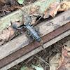 Forest scorpion