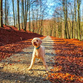 Cute lagotto dog playing in the forest by Stefan Sorean - Animals - Dogs Playing ( small, forest, young, obedient, happy, focus, cute, sun, summer, domestic, spring, white, mammal, grass, friend, action, doggy, park, pet, funny, jump, green, nature, purebred, tree, hound, canine, brown, look, terrier, breed, outdoor, face, puppy, outside, flying, animal, crazy, playing, dog, fun, little )