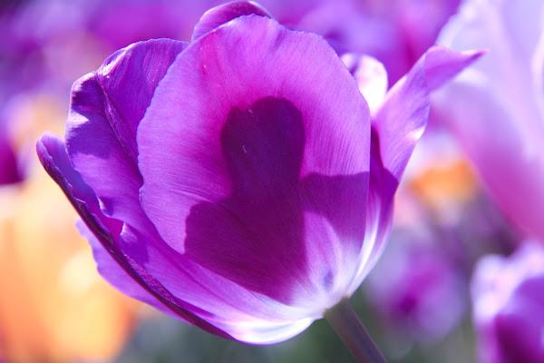 holland flower di alice_pasquini