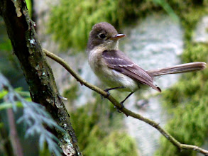Photo: Pacific-slope Flycatcher