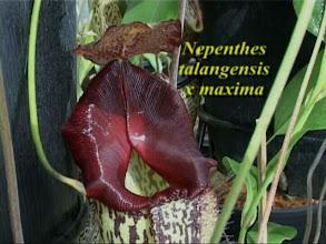 Photo: N. talangensis x maxima.Video image: S. Hartmeyer.