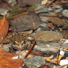 Küçük Kurbağa, Küçük Kurbağa by Halime Pelitçi - Nature Up Close Other Natural Objects ( water, frog, rock, pepples, river )