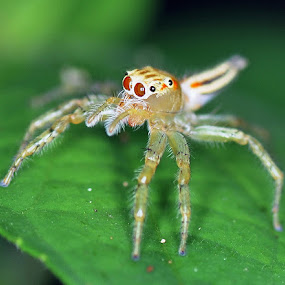 Female jumping spider (Siler semiglaucus)  by Mohd Siberi Mohd Yusof - Animals Insects & Spiders ( pwcinsectsandspiders )