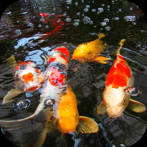 Koi Fish Video Wallpaper 3D
