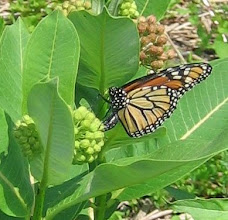 Photo: Monarch on Common Milkweed, 6.30