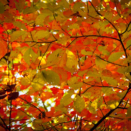 Fall Colors by Jennifer  Loper  - Nature Up Close Trees & Bushes ( orange, green, leaves, fall, tree, autumn )