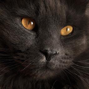 Smokey Closeup by Corinne Noon - Animals - Cats Portraits