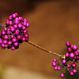 Callicarpe de Bodinier by Gérard CHATENET - Nature Up Close Other plants