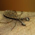Leaf-footed Assassin bug