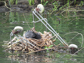 Photo: 21 Jun 13 Trench Lock Pool: This Coot is taking advantage of the rubbish thrown in to Trench Lock Pool: but I must discourage placing shopping trolleys as potential 'nesting boxes'! (Ed Wilson)