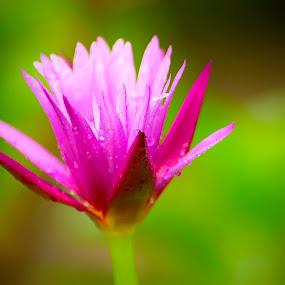 Rainy Flower by Hsn Doel - Flowers Flower Gardens ( flower photography, flower, rain )