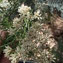Common cassinia