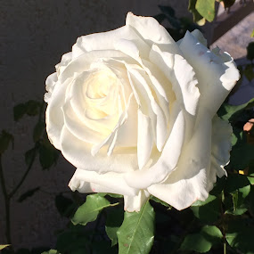 White rose by Annie Cator - Flowers Single Flower ( rose, white rose, white, roses, flower,  )