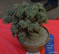 Photo: 1st Place Best Winter Grower, Othonna euphorbioides
