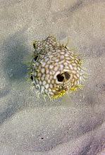 Photo: Web Burfish. Common.