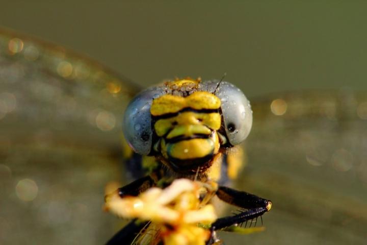 Faccia da libellula di lorespo
