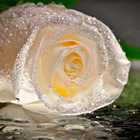 Pureté by Nick Beaudoin - Nature Up Close Flowers - 2011-2013 ( water, rose, d700, white, flowers, nikon )