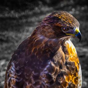 by Dan Miller - Animals Birds ( bird of prey, hawks, birds,  )
