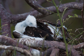 Photo: Frigatebird chick; North Seymour