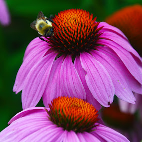 Cone flower with Bee by John Berry - Flowers Flowers in the Wild