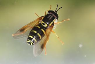Photo: Chrysotoxum festivum     Diptera  > Syrphidae