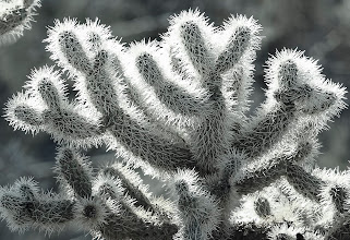 """Photo: Cholla Cactus Glow - This detail view of cholla cactus glows with backlight in the late afternoon in the Tonto Basin of Arizona.  So beautiful and they seem so """"friendly"""" but most assuredly, never fall into one or get close enough to touch this cactus.  Some cholla cactus even have buds that will fall off and just the vibrations of a person walking near them will cause a bud to """"jump"""" and affix tightly to your skin and clothing.  This plant was photographed along Highway 87 near the Mazatzal Mountain range northest of Phoenix."""