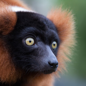 Red ruffed lemur by Sam W - Animals Other ( stare, varecia rubra, primate, cute, madagascar, red ruffed lemur, portrait, animal )
