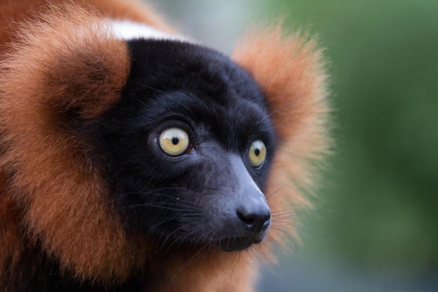 Red ruffed lemur by Sam W - Animals Other ( stare, varecia rubra, primate, cute, madagascar, red ruffed lemur, portrait, animal )