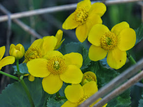 Photo: Priorslee Lake Kingcup or Marsh-marigold (Caltha palustris) is a member of the buttercup family with large bright flowers and shiny leaves. It grows in wet / marshy areas. Beware: the leaves can irritate the skin of some people. (Ed Wilson)