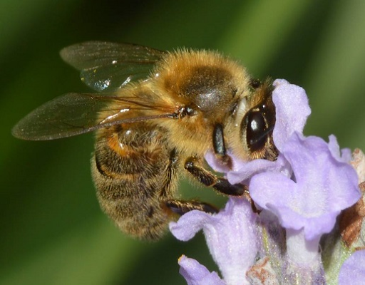 Honey Bee Sliding Puzzle FREE