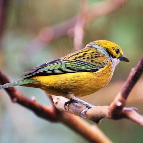 by Sheri Fresonke Harper - Animals Birds ( panama, bird, tangara icterocepha, perching )