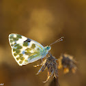 The Bath White Butterfly