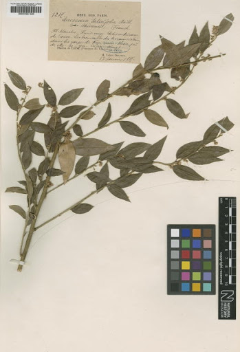 Sarcococca ruscifolia var. chinensis (Franch.) Rehder & E.H.Wilson