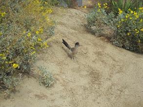 Photo: Greater Roadrunner at Desert Willow  Golf Resort in Palm Desert February 2014