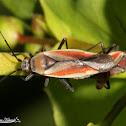 Scarlet Plant Bug