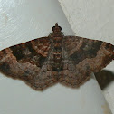 Sodaliata Moth