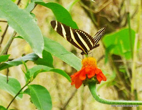 Photo: Zebra Helconian (Heliconius charithonia); Rancho Primavera, near Tuito, Jalisco