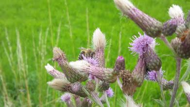 Photo: Eine fleißige Biene macht sich an den Distelblüten zu schaffen (Auf der Halle, Ruhrhöhenweg Süd).