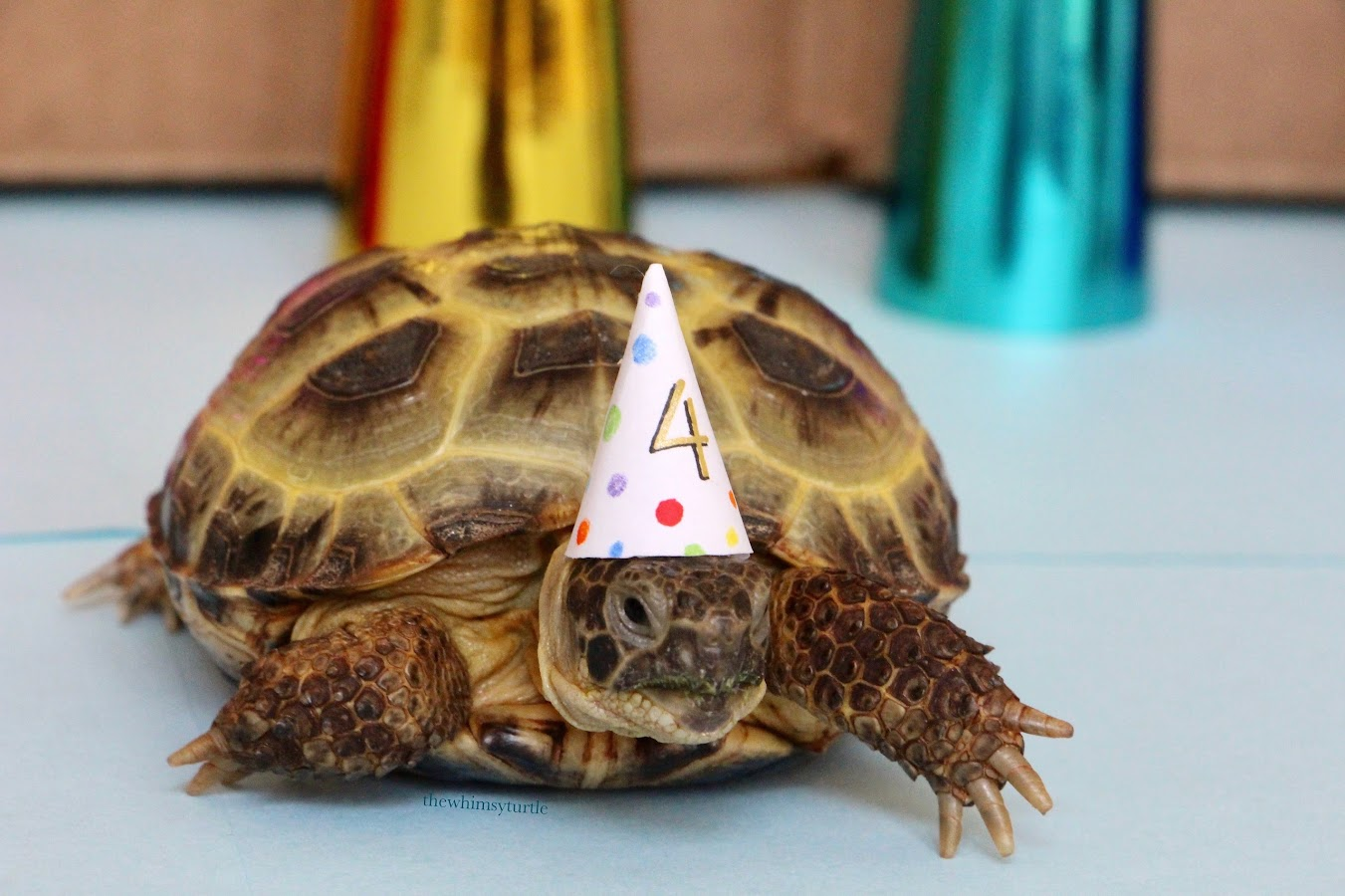Image result for turtle tortoise with party hat