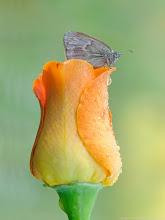Photo: Coenonympha pamphilus, Fadet commun ou Procris, Small Heath  http://lepidoptera-butterflies.blogspot.com/  https://www.facebook.com/pages/Macro-Photography-Do-Dema/540798875993427