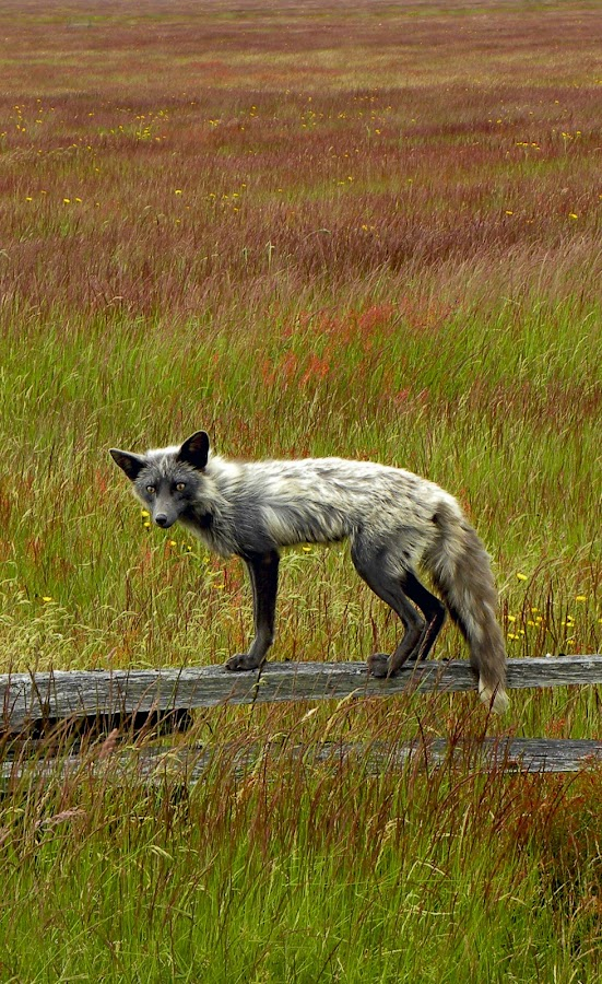 by Kathryn Hoogheem - Animals Other ( fence, fox, grass, fall, san juan island )