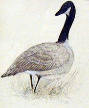 Photo: Canada Goose . colored pencil . 6x8