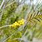 Sandhill Rosemary