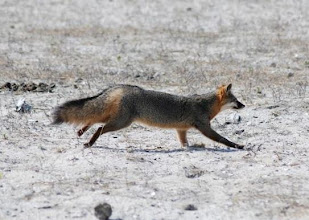 Photo: There are two species of fox that inhabit the Rachel Carson Reserve - the native gray fox and the red fox, introduced to North America several hundred years ago. An easy way to distinguish between the two is to observe the tip of the tail. If it's white, you are looking at a red fox. The fox featured here is a gray fox. Photo by Reserve volunteer Robin Newton.