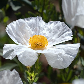 Sunny Side Up by Clyde Smith - Nature Up Close Flowers - 2011-2013 ( wildflower, white, poppy, yellow )