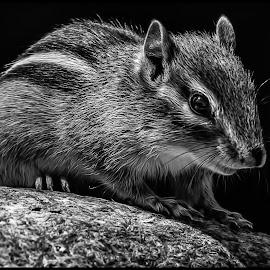 Chipmunk by Dave Lipchen - Black & White Animals ( black and white, chipmunk )