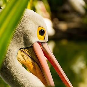 Pelican S shape by Frederiko Ferry - Animals Birds (  )