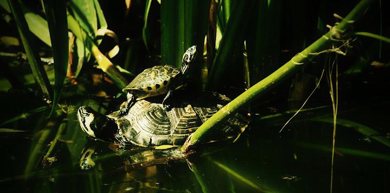 turtles di Germano